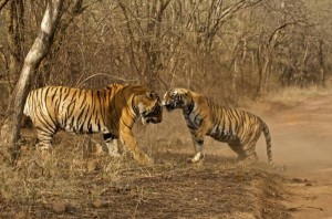 Tigers-at-Ranthambore-National-Park